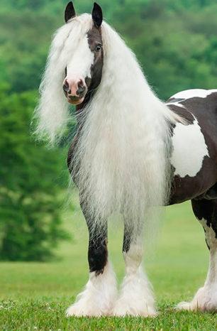Cinco fatos divertidos sobre os Gypsys Horses!