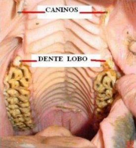Odontologia Equina