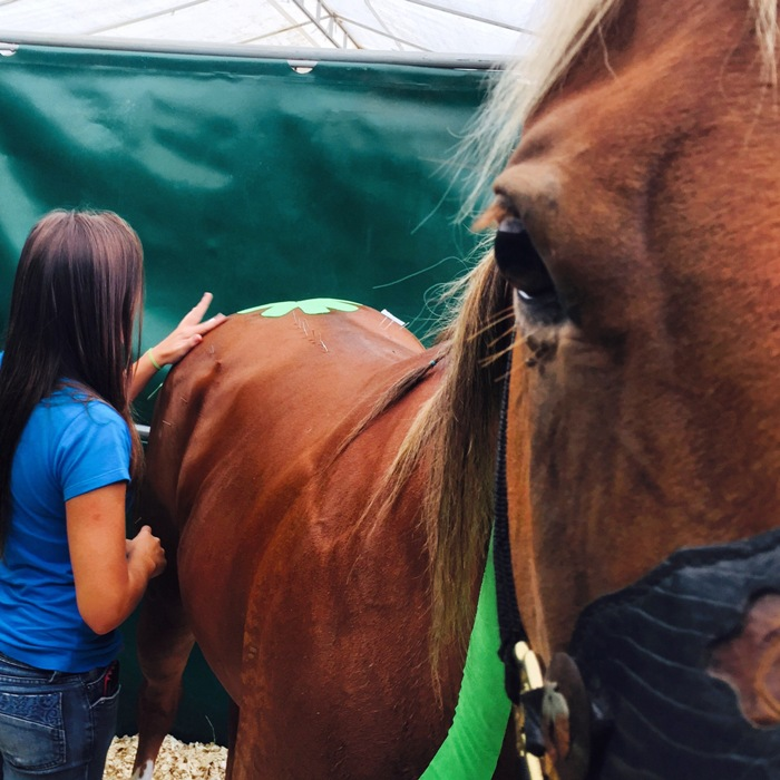 kinesio taping em cavalos