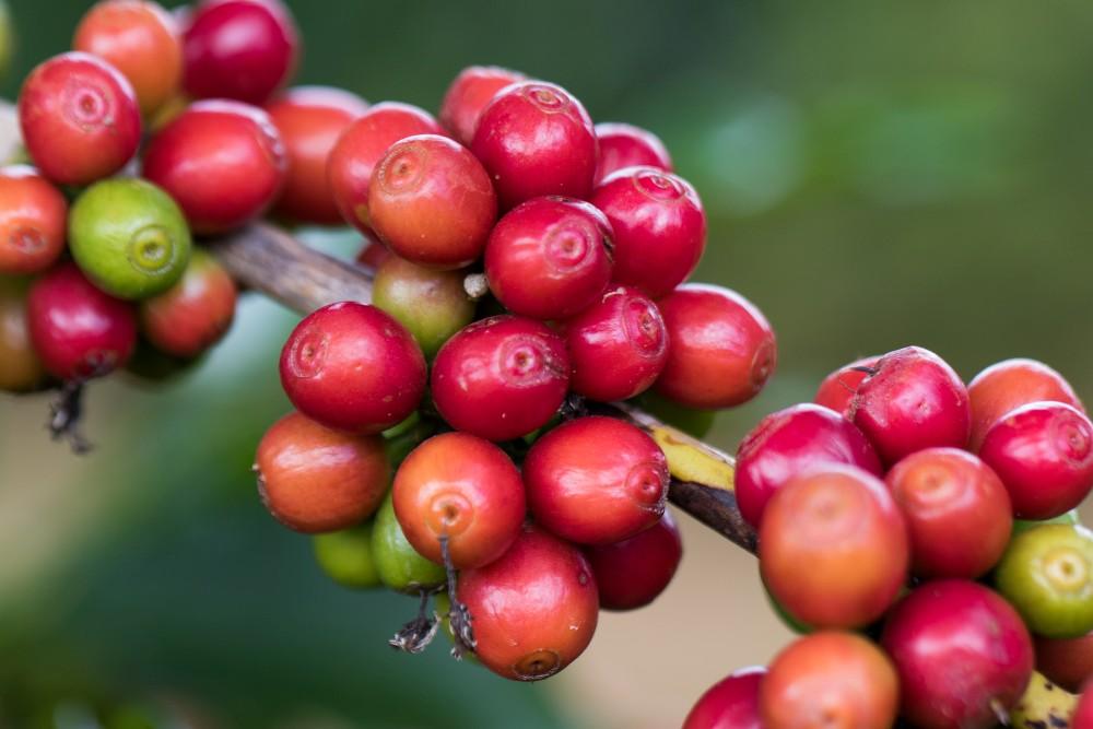Café: exportação de 2020 deve ao menos se igualar à de 2019