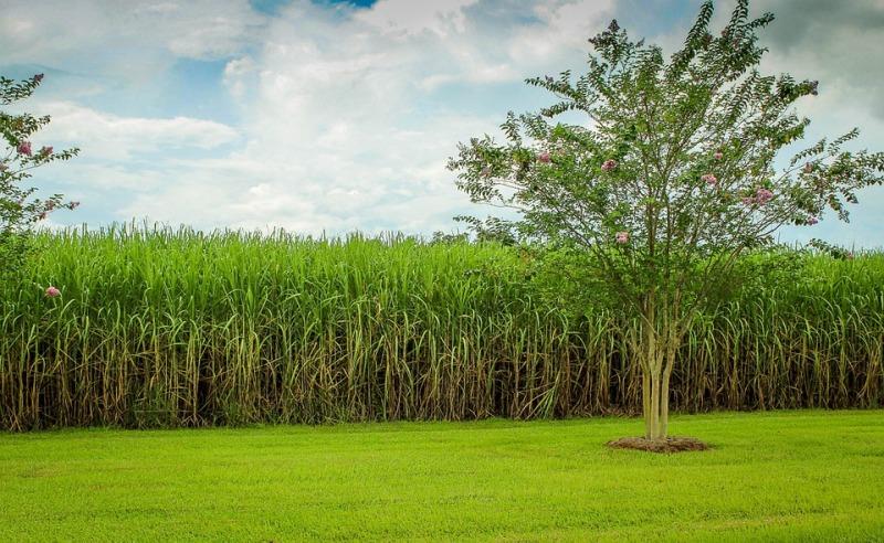 Cana e laranja estabilizam, grãos devem ter aumento de produção