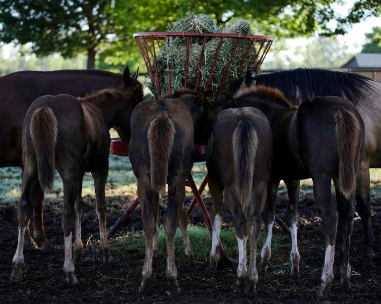 Alfafa - amigo ou inimigo? Feno da alfafa, por ser um alimento seco, deve preferencialmente ser fornecido aos cavalos juntamente com a água.