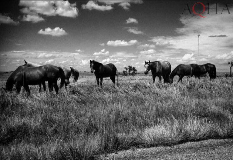 Conheça as pelagens oficiais do cavalo Quarto de Milha