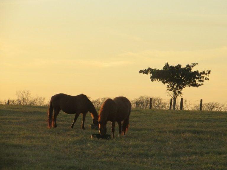 Boas práticas: manejo, nutrição, saúde e bem-estar do cavalo Não há transmissão da COVID-19 para este tipo de animal, relata artigo da Guabi