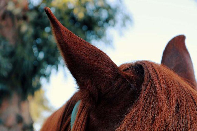 Como os animais percebem o ruído? Os cavalos podem ouvir sons a distâncias maiores do que nós humanos