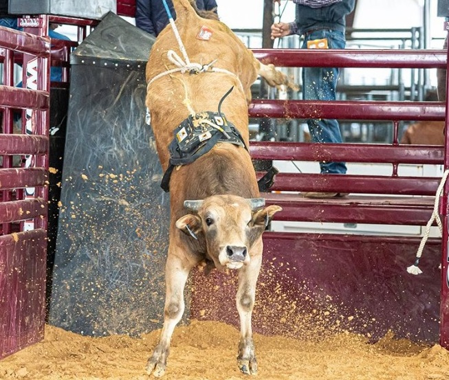 A ABBI fomenta o gado de rodeio nos Estados Unidos E quem conta tudo sobre a American Bucking Bull, Inc. é o seu presidente Jay Daugherty