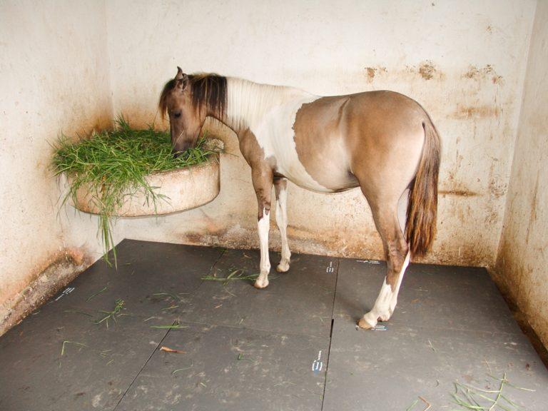 Inovação nas baias, camas de borracha salva cavalos de pequeno proprietário goiano