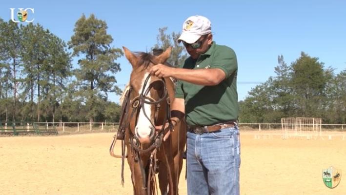 A sensibilidade do cavalo no chão. a ideia é mostrar que a sensibilidade que o cavalo desenvolve no trabalho de chão tem correspondência com a resposta montado!
