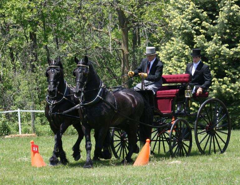O cavalo Frísio tem como destaque sua pelagem negra. Raça é originária da Frísia, uma província dos Países Baixos, conhecidos como Holanda