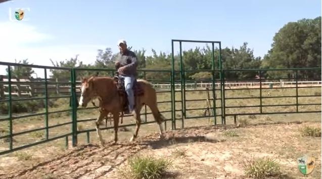 O Mensagem a Cavalo da TV UC fale sobre o redondel para ensinar potros em doma a manter o ritmo e cadência. Sem precisar usar embocadura