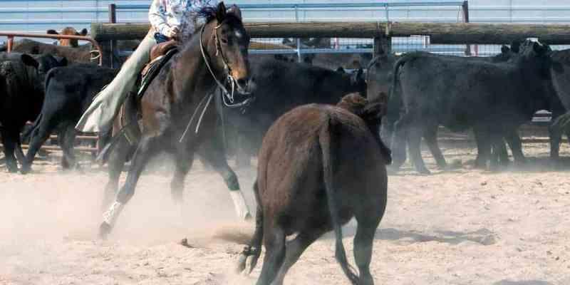 Cavalo e cavaleiro 'dançam' em sintonia com o gado. A Apartação foi criada através do dia a dia das fazendas e tornou-se um esporte forte