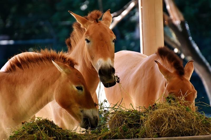 As úlceras gástricas são muito comuns em cavalos e pode afetar animais de qualquer idade Sem dúvida, é preciso ficar atento aos sinais
