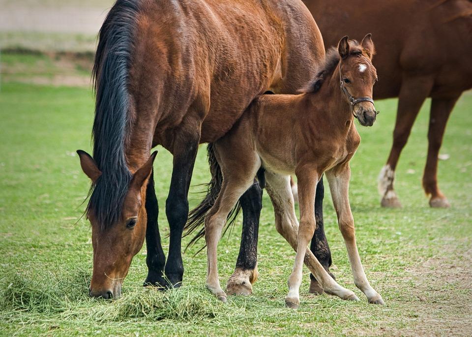 Piquetes ou áreas de pastejo são de fundamental importância para o bom desenvolvimento dos cavalos, sobretudo dos garanhões, éguas e potros
