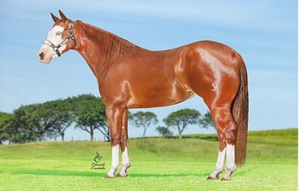 O WP Ranch tem como garanhão-chefe o animal Winning Pep, o único Super Horse da raça Paint; confira em entrevista a paixão pelo Paint Horse