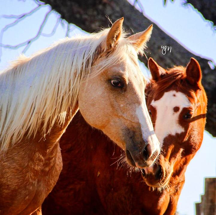 cavalo Quarto de Milha: você já deve ter reparado na agilidade dessa raça, que existe há 400 anos, cavalos tipicamente fortes e velozes