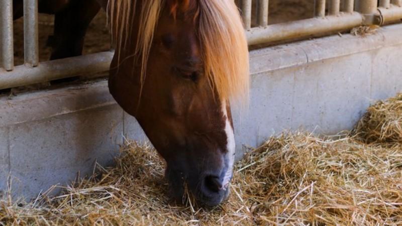 alimentação animal: os volumosos fornecidos aos cavalos com frequência são submetidos a diferentes métodos de conservação