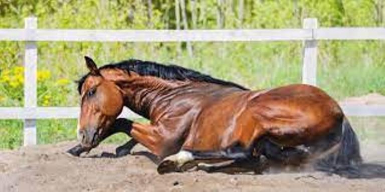 cólica em equinos: qual criador que nunca se viu desesperado ao ver um animal rolando no chão com sintomas desta grave patologia? Confira