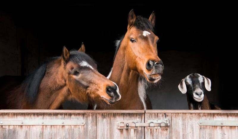 Cavalos e cabras são animais de rebanho e normalmente se conectam rapidamente: ficam juntos no mesmo piquete e tornam-se inseparáveis