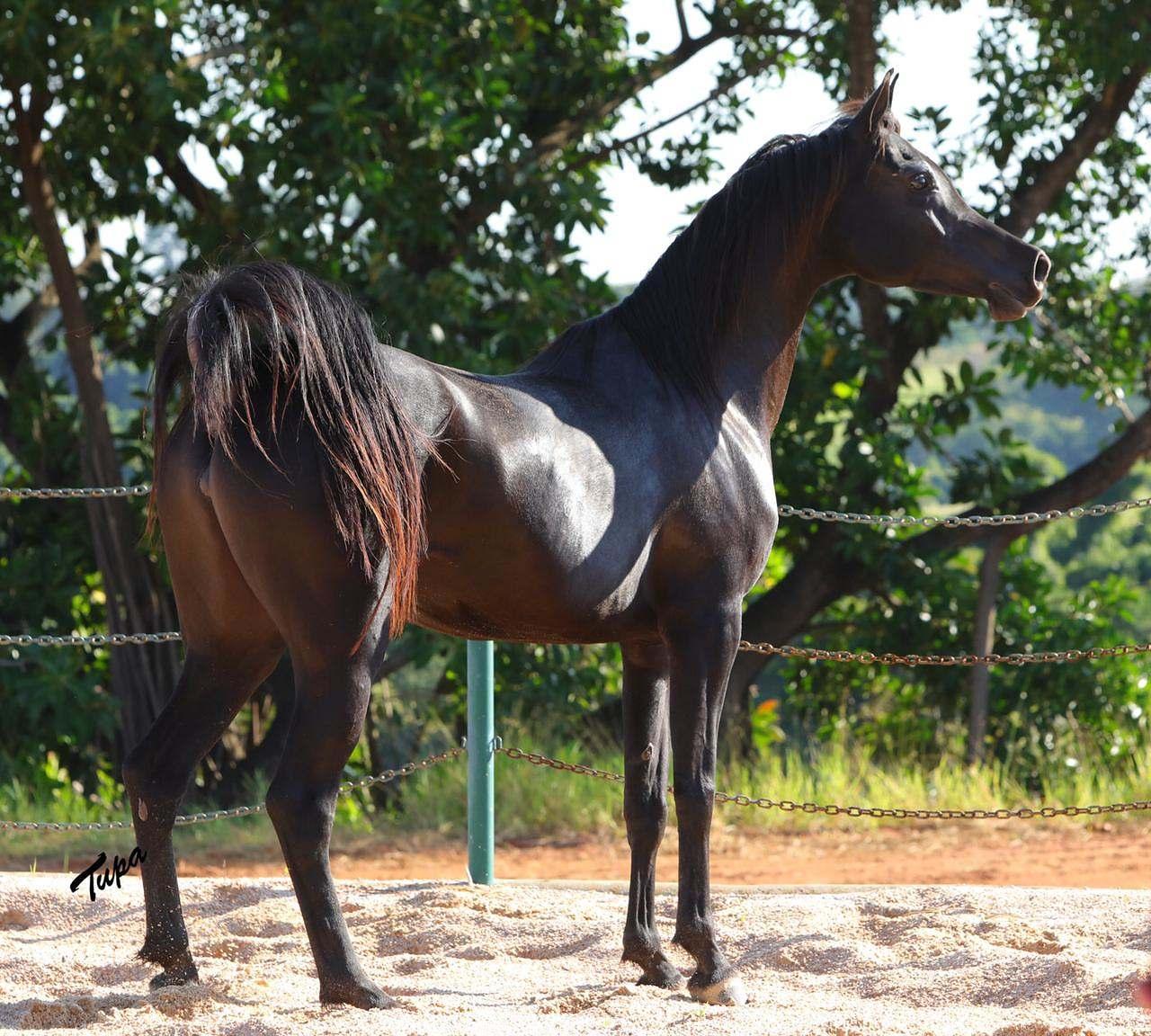 Com égua vendida por mais de R$ 77 mil, Leilão Virtual HVP é sucesso de vendas
