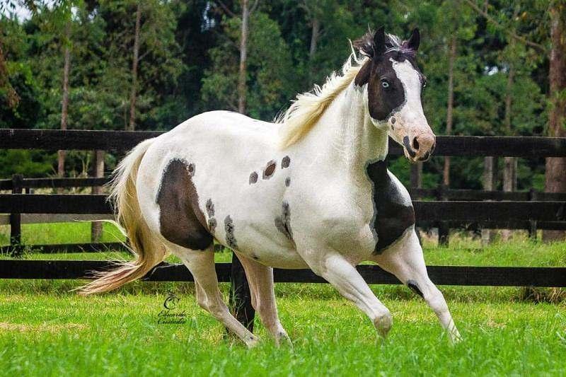 O criador, além do fomento da raça Paint Horse atuando nas pistas e na reprodução com seus cavalos, também presidiu a ABCPaint por um mandato