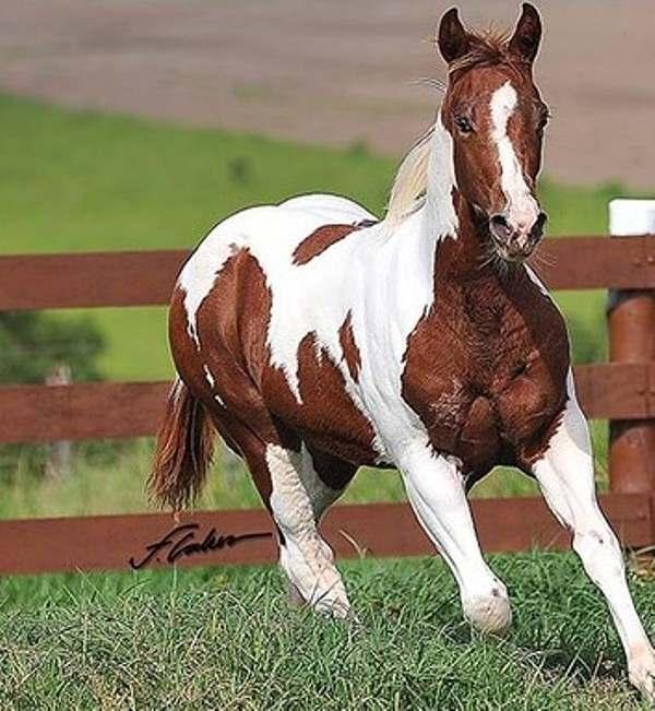 Paint Horse: leilão do WP Ranch registrou ainda o maior faturamento para a raça dos últimos anos - faturamento total de R$ 703.720 um record