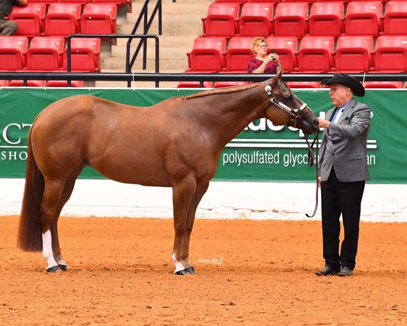 cavalo Quarto de Milha, uma das raças mais populares – e numerosas – do mundo conta com alguns fatos que a diferencia das demais