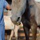 Alimentação inadequada deixa os cavalos mais propensos às doenças