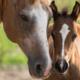 Idade dos cavalos