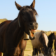 Acompanhamento odontológico promove melhorias nos aspectos, mental, físico e atlético do cavalo
