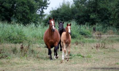 Transferência de embriões potencializa funções do cavalo