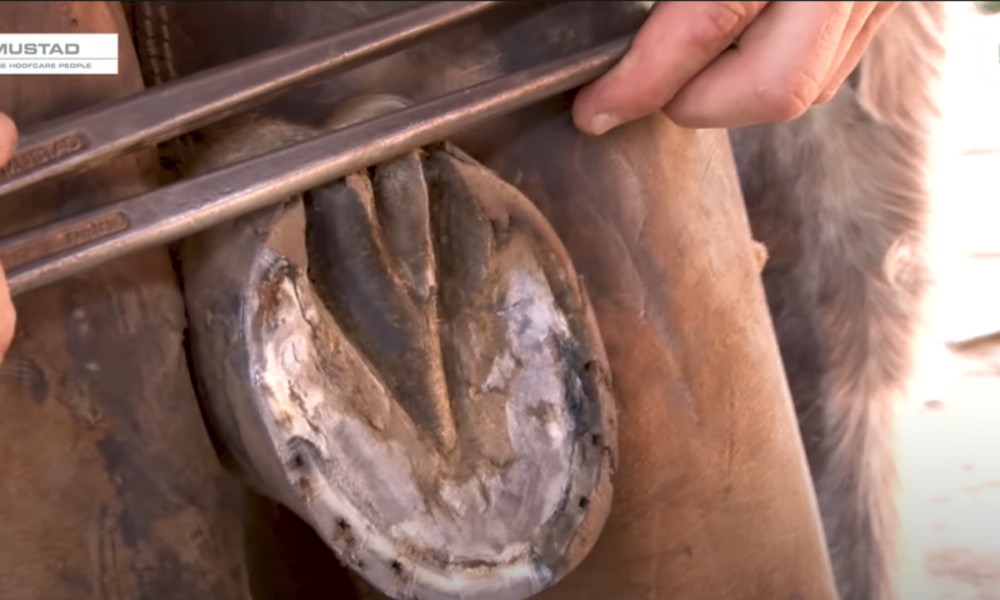 A cauterização do casco orienta a modelagem da ferradura