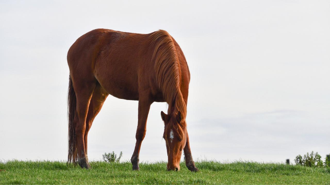Cavalo peludo no inverno