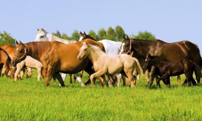 Parceria de laboratório com a Associação do Cavalo Quarto de Milha visa a rastreabilidade de laudos laboratoriais