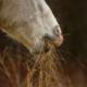Botulismo pode causar paralisia de membros e até morte em cavalos