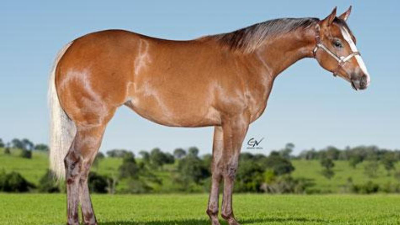 Haras Império participa do 11º Leilão Quarter Horse In Family