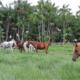 Haras Tauari leva a funcionalidade do cavalo Árabe para Belém