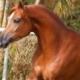 Leilão Rach Stud Classic apresenta a melhor genética do cavalo Árabe