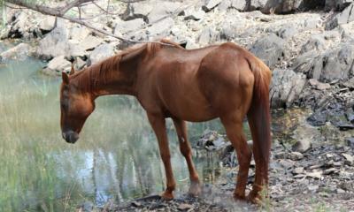 Leptospirose pode afetar equinos, causando mortes em casos mais graves