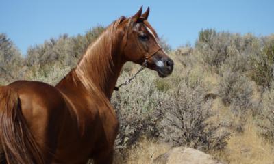 Conheça algumas curiosidades sobre o cavalo Árabe