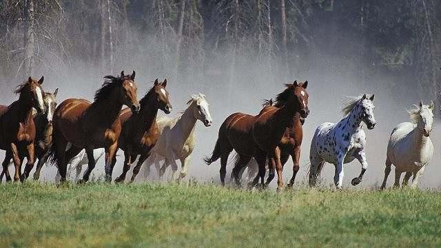 Égua e garanhão a função de cada um em uma manada 01