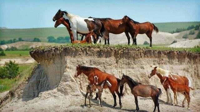Papel da fêmea em uma manada de cavalos 01